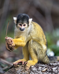 Squirrel monkey with leaf in the hand