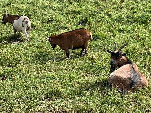 Goats at Clonallon