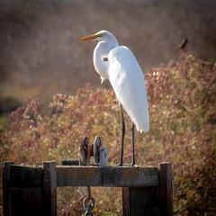 Snowy Egret in the Mid-Morning Sun, Don Edwards Regional Park 2
