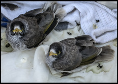 Two baby Noisey Mynors fell from a tree=