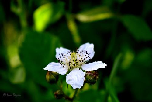 0305 Dauwbraam (Rubus caesius)