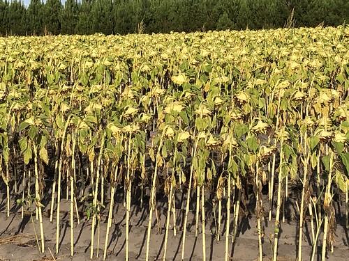 Tournesols (Landes, France) / Sonnenblumen (Landes, Frankreich) / Подсолнечники (Ланды, Франция)