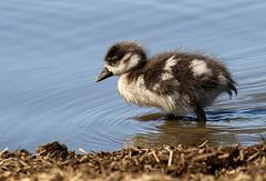 Baby Egyptian goose, Kruger National Park, South Africa
