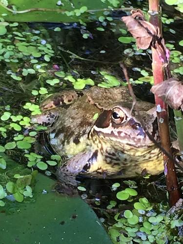 Grasfrosch im heimischen Teich