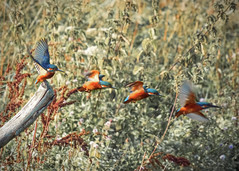 Kingfisher in Flight (composite)