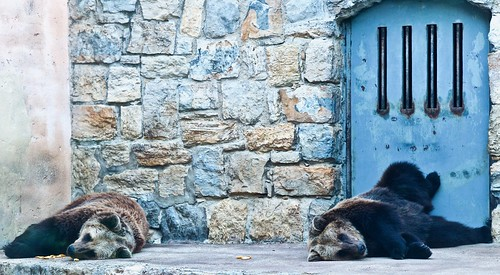 Captive Brown Bear [Urso Pardo] (2019)