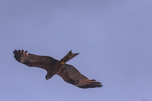 AQUILA.  ---   EAGLE