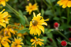 Yellow Marguerite Daisy Growing