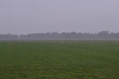 Vogels, gras en mist (135FJAKA_2691)