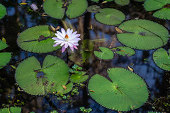 Eureka Springs Water Lily