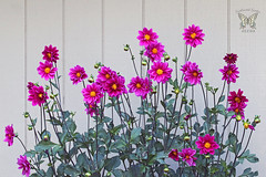One of the many colors in Dahlia 'Double Extreme'.
