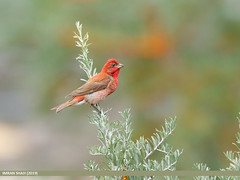 Common Rosefinch (Carpodacus erythrinus)