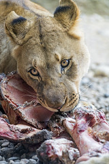 Next photo of a young lioness eating meat