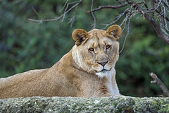 Young lioness looking at me
