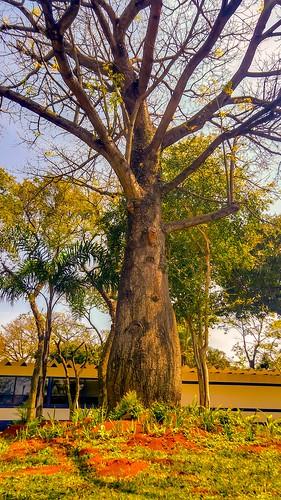 Barber Tree