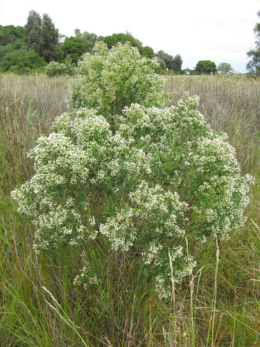 Baccharis halimifolia plant female NC2