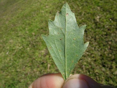 Baccharis halimifolia leaf NC2