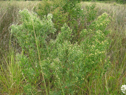 Baccharis halimifolia plant female-left male-right NC1