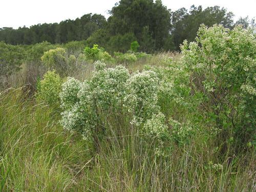 Baccharis halimifolia plant female-front male-back NC1