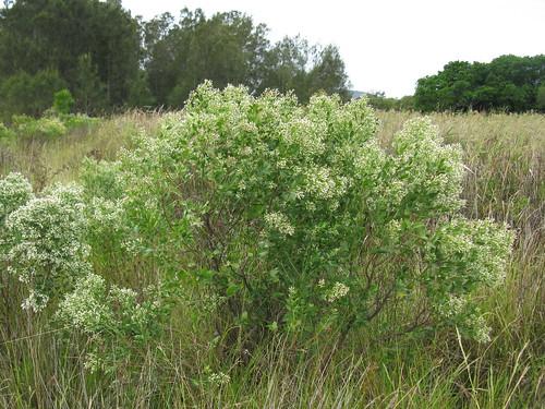 Baccharis halimifolia plant female NC3