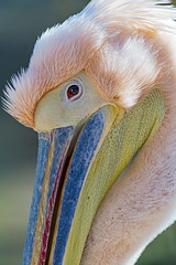 Extreme closeup of a pink pelican II
