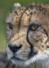 Close portrait of a cheetah