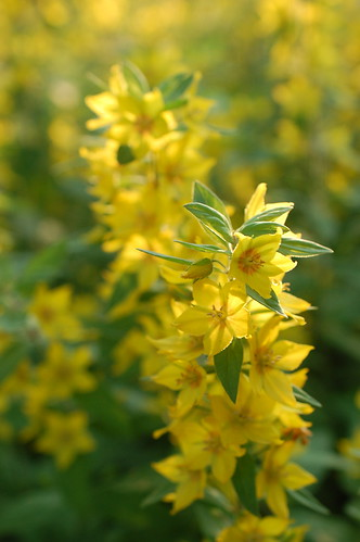 Dotted Loosestrife