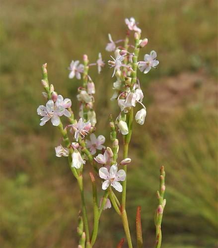 Jointweed (Polygonella articulata)