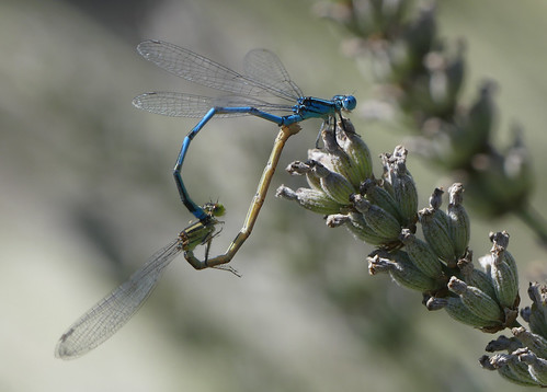 Blue-eye (Erythromma lindenii)