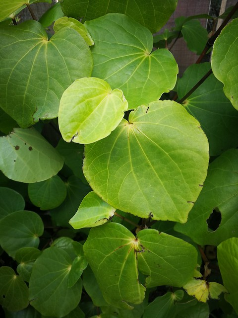 kawakawa planting in South garden by shiny