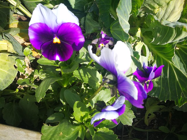 pansy planting in Sunny big bed by shiny