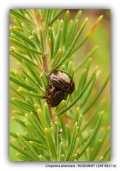 Rosemary leaf beetle: (Chrysolina americana)