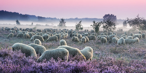 Sheep on the Heather Field