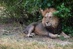 Löwe / Lion (Torn Nose)