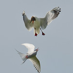 Tern Versus Gull by Andrew C M Chu