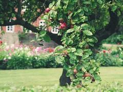 Apfelbaum im Garten | 11. September 2019 | Fehmarn - Schleswig-Holstein - Deutschland