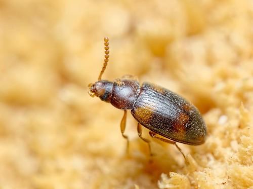 Alphitophagus bifasciatus