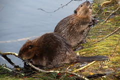 Two of this year's beaver puppies