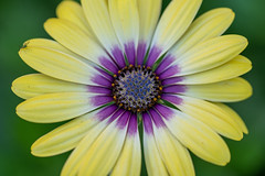 Yellow and Purple Flower