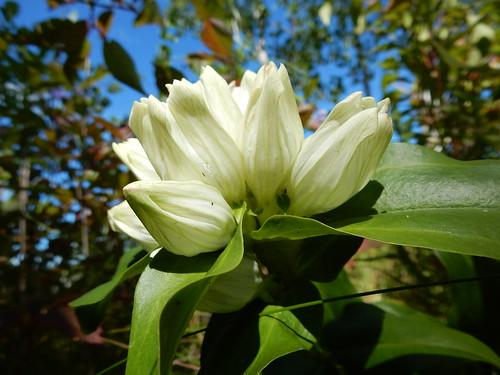 Cream Gentian (Gentiana alba)