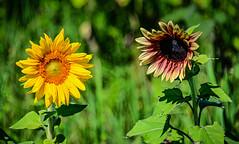 Sunflowers at Burnside Farms Nokesville VA