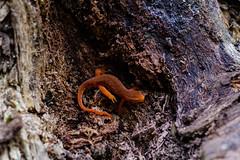 Salamander Crawling Along a Trail