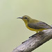 Olive-backed Sunbird (Cinnyris jugularis) 黄腹花蜜鸟
