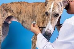 Veterinarian examining spanish greyhound dog