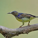 Brown-throated Sunbird (Anthreptes malacensis) 褐喉食蜜鸟