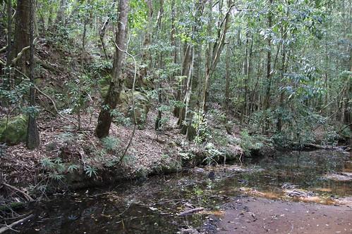 Boardinghouse creek with Coachwood (Ceratopetalum apetalum)