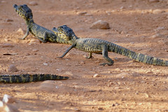 Jacare Caimans (Caiman yacare) neonates crossing the road ...