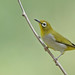 Swinhoe's white-eye (Zosterops simplex) 暗绿绣眼鸟