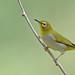 Swinhoe's white-eye (Zosterops simplex) 暗绿绣眼鸟