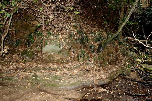 Gap Creek with strap water ferns (Austroblechnum patersonii syn. Blechnum patersonii)